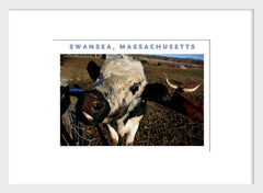 Swansea, MA Cattle in Spring Photo on Canvas Wall Art #386