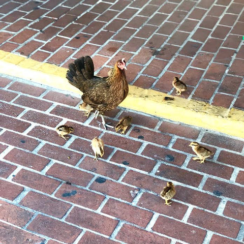 Chickens in Key West