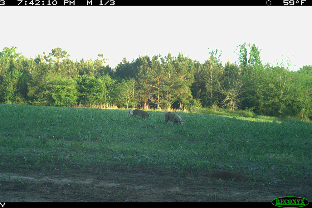 Wild pigs on Heaven's Trail property
