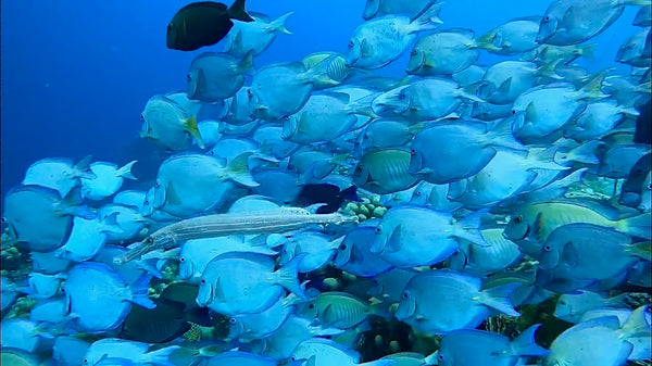 School of fish moving in unison in Bonaire