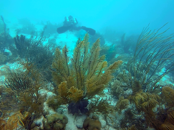 Swaying arms of fan coral in Bonaire
