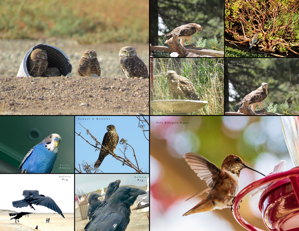 The Birds of California: 2020 Calendar