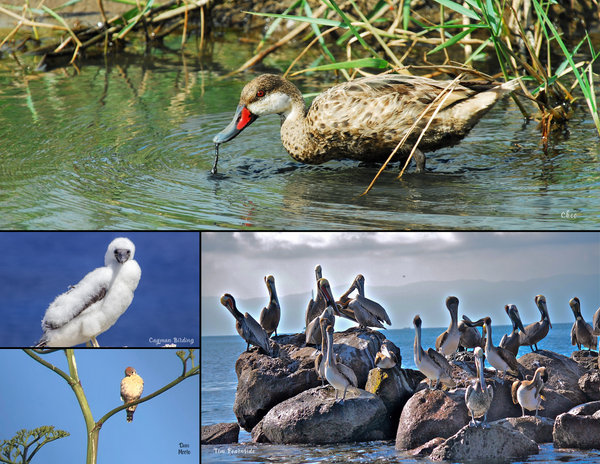 The Birds of Mexico, Central America, and the Caribbean: 2020 Calendar