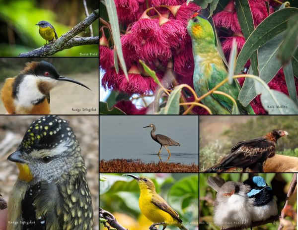The Birds of Australia: 2020 Calendar