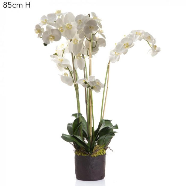 Orchid Phalaenopsis - Paper Pot - White