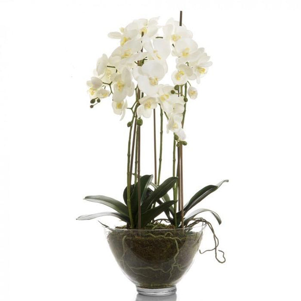 Phalaenopsis Orchid - Clear Pot - Large