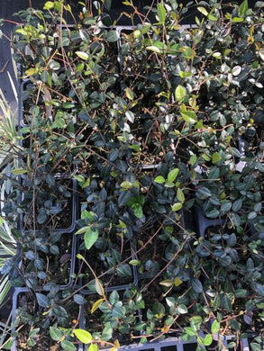 Asian Jasmine - Tray of 18