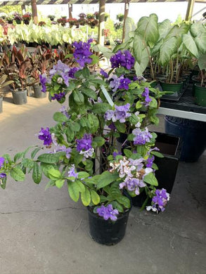 3G Brunfelsia 'Yesterday, Today and Tomorrow'