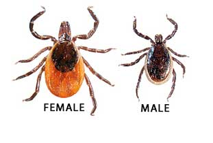 Male and female tick size comparison