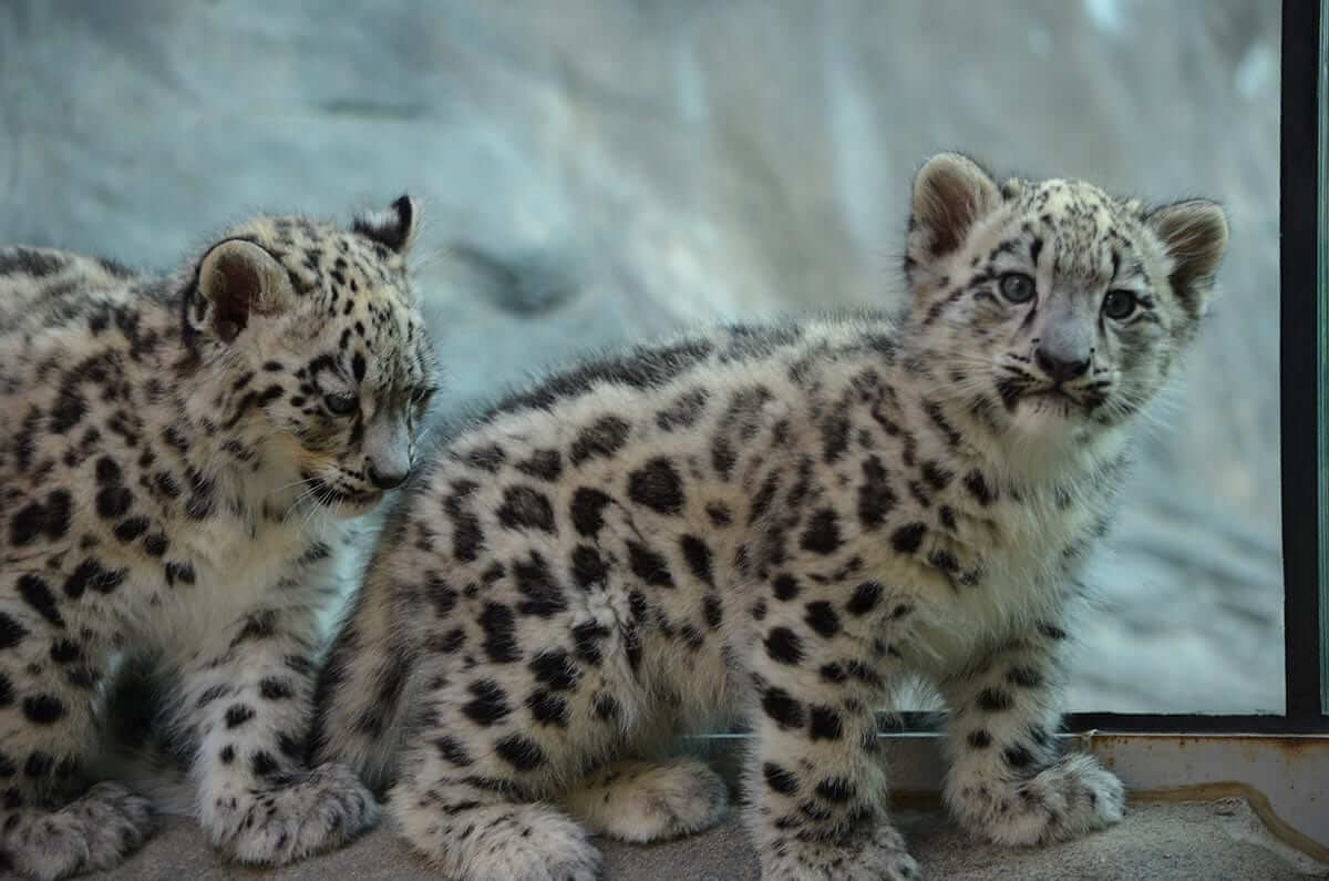Snow Leopard cubs at The Akron Zoo