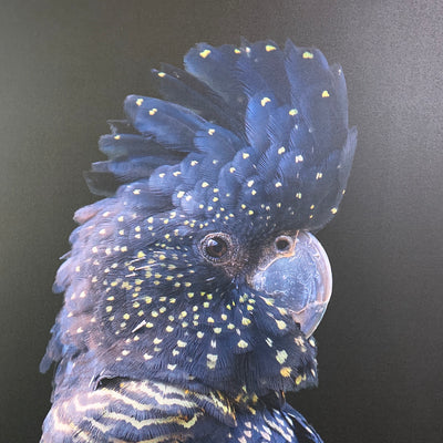 Australian Black Cockatoo Photographic Print