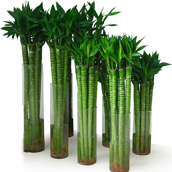 ZLKING 50PCS lucky bamboo bonsai water planting natural organic perennial green plant decoration home and garden