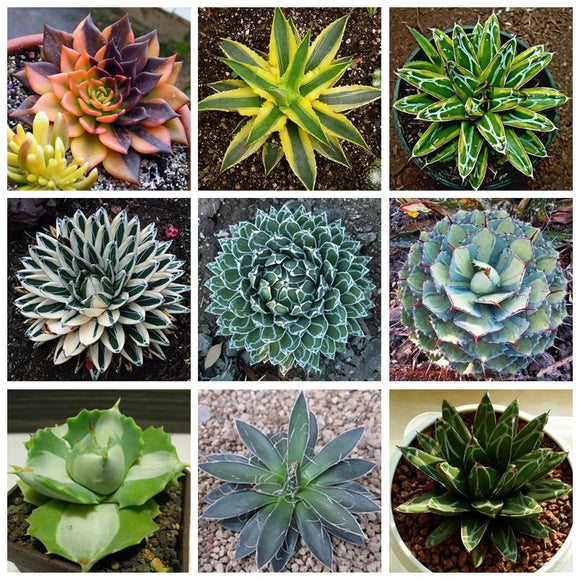 Hot Sale! 100 Pcs Exotic Agave Plant Rare Succulent Bonsai Flower Outdoor Americana Potted Succulent For Home Garden Purify Air