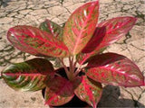 Rare Color Aglaonema Bonsai 200 Pcs Aglaonema Blooming Mosaic Perennial Evergreen Trees Flower Indoor & Outdoor Plant Pot