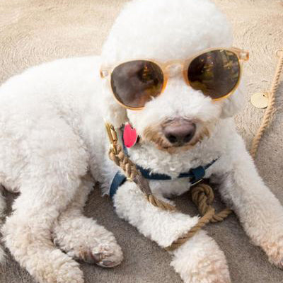 beryl blount - hannah's fluffy, white rescue dog, laying on the sidewalk wearing a pair of yellow sunglasses.