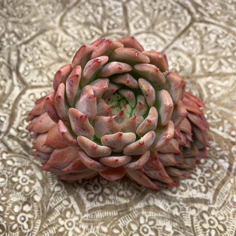Echeveria Holy Knight (large)
