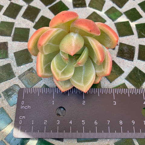 Echeveria White Knight