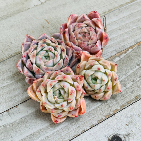 Echeveria Conari (randomly selected)