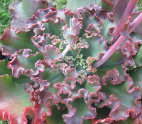 Echeveria War Dancer