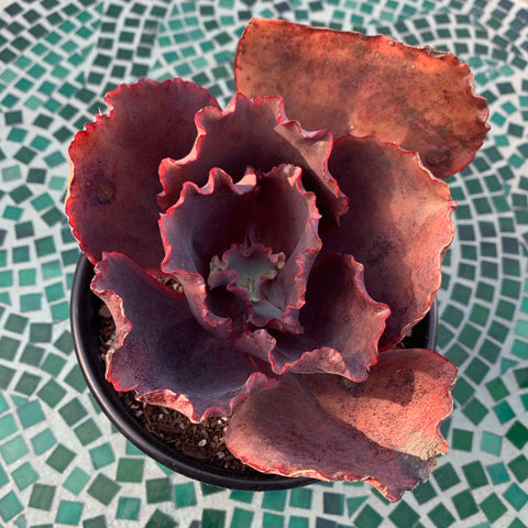 Echeveria Silveron Red