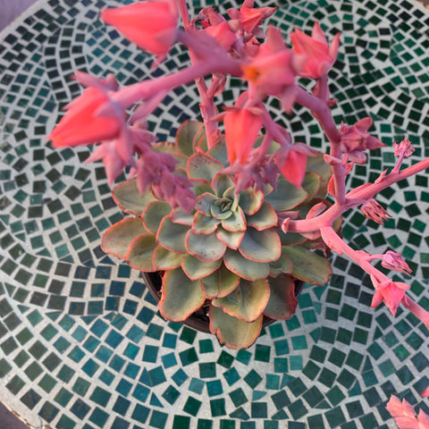 Echeveria Rainbow Sunset (double-head)