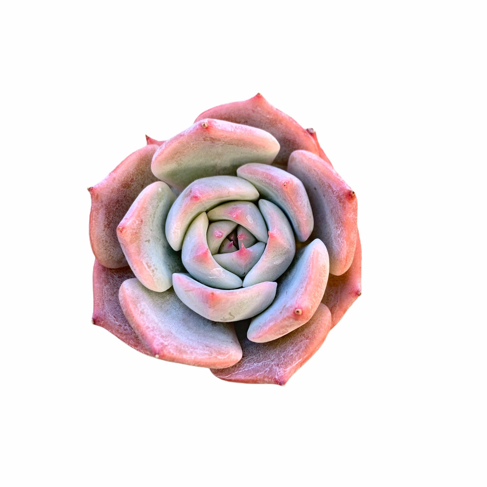 Echeveria Steel Heart (small)
