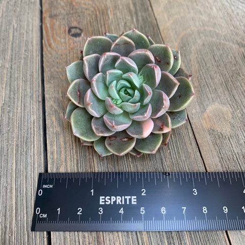 Echeveria Roman Variegata (please read description)