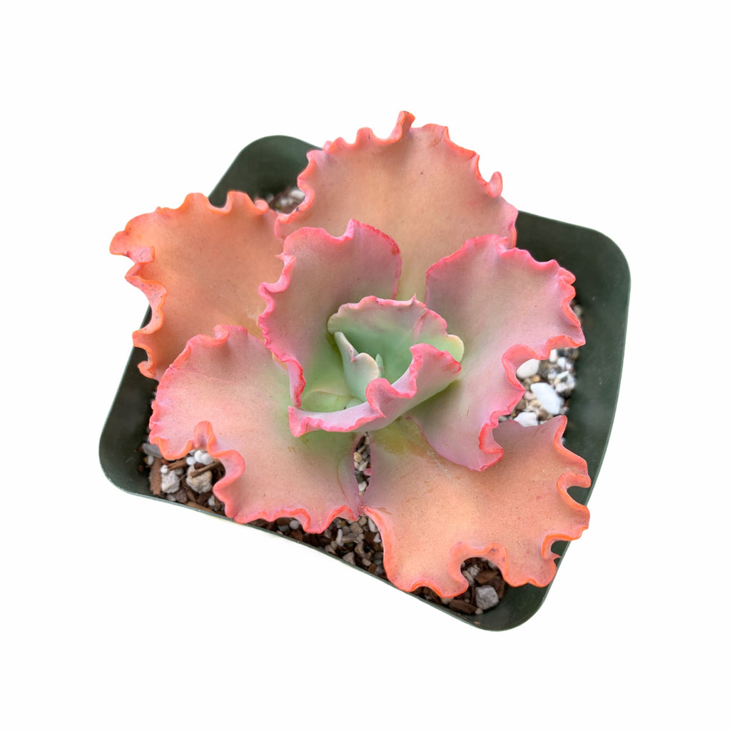 Echeveria Can Can