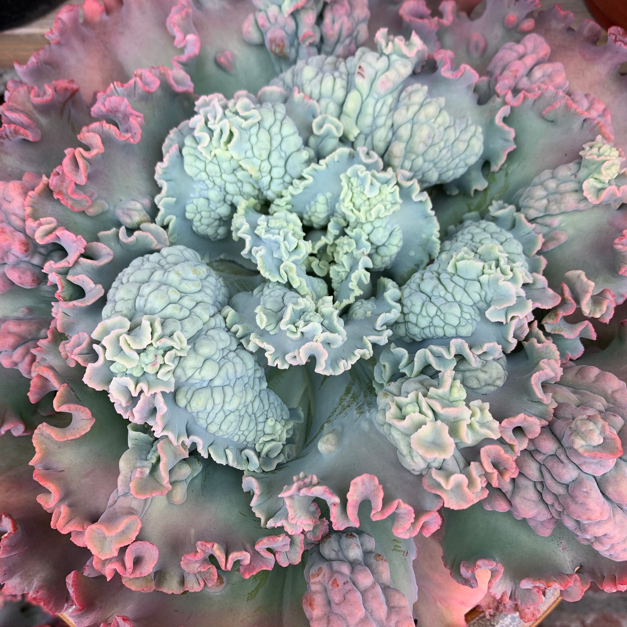 Echeveria Dick Wright