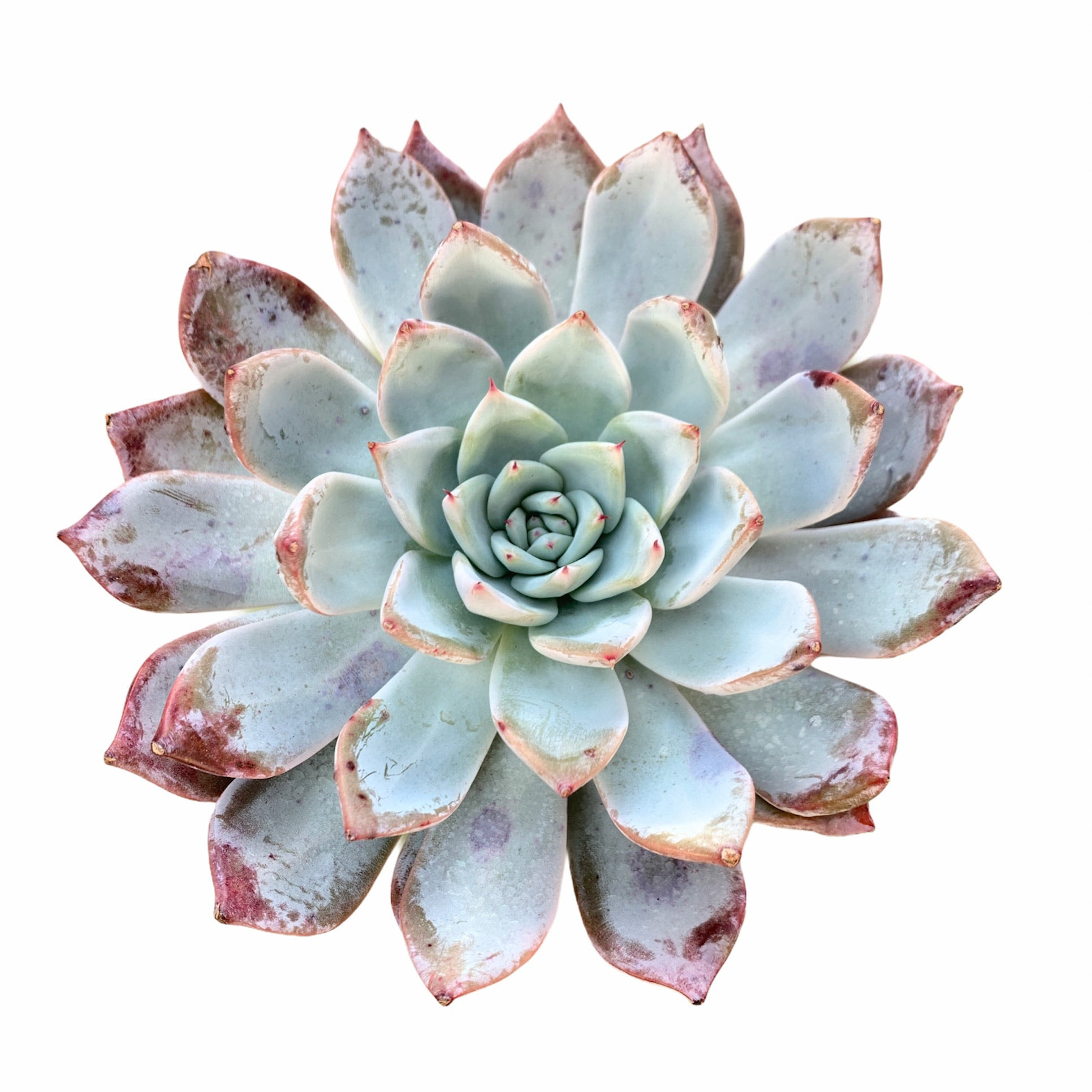 Echeveria Highland (very large)