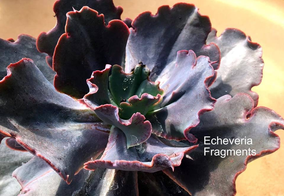 Echeveria Fragments