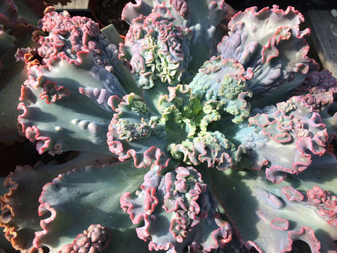 Echeveria Marjorie Pogue