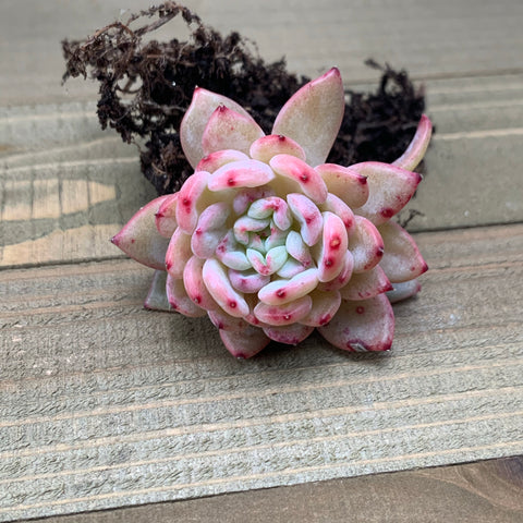 Mini Echeveria Shine Bright