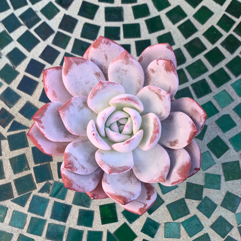 Echeveria Cream Sun