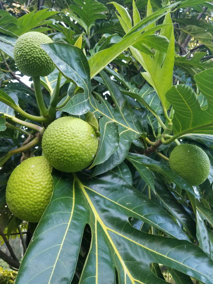 Learn More About Growing Breadfruit
