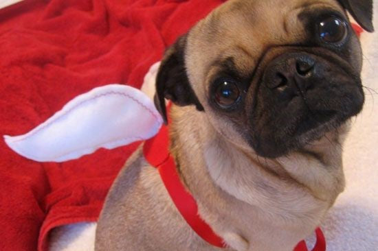 pug wearing white feathers