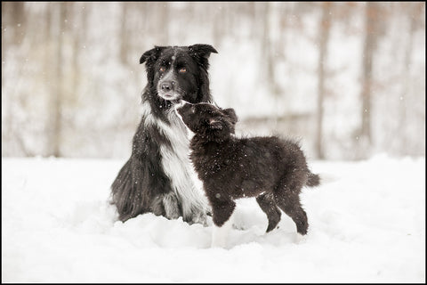 Border Collie Snow Day