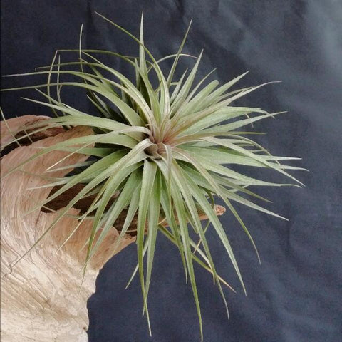 Tillandsia Aeranthos Stricta - Medium