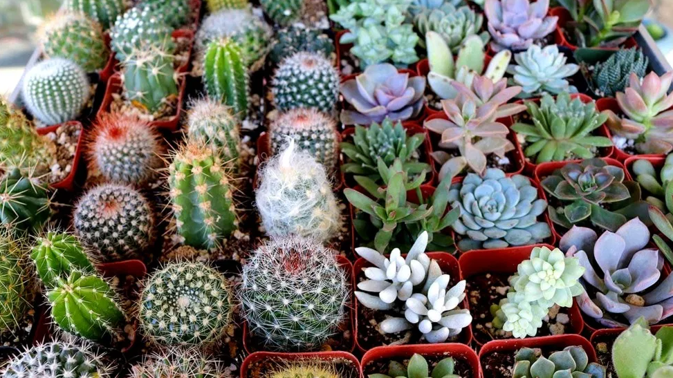 Assorted Cacti
