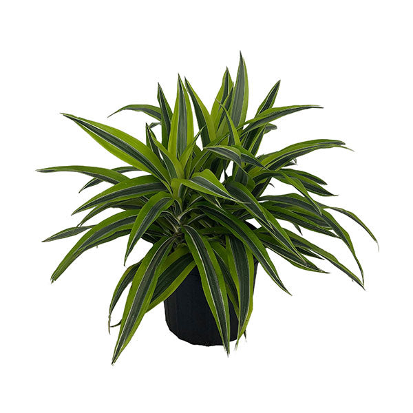 Dracaena - Goldstar Lemon Lime