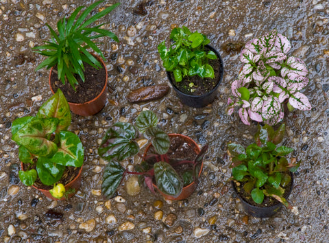 Miniature Tropical Plants