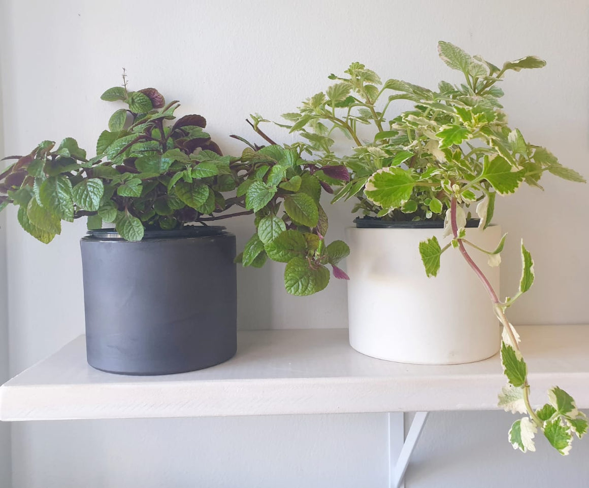 Plectranthus plant - In-store collection