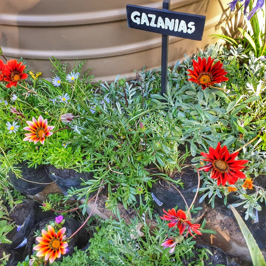 Gazania plant: In-store collection only