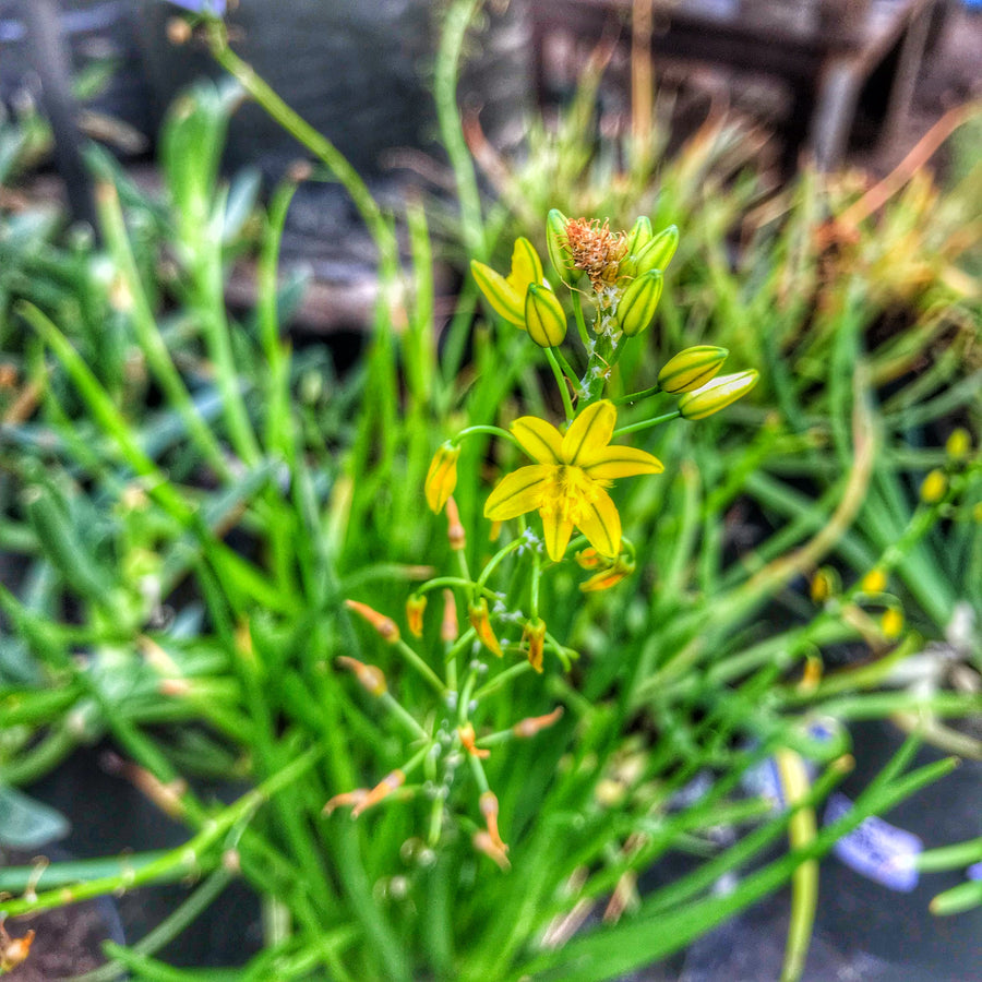 Bulbine Plant: In-store collection