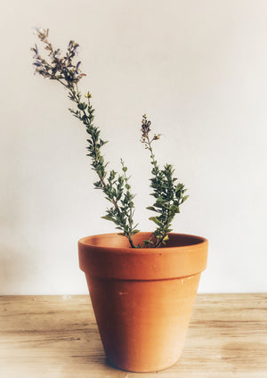 Blue Sage Plant – Happy Herbs
