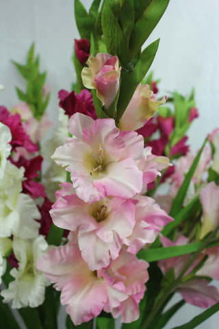 Gladiolus Spray Pink 3050