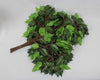Green Ficus Branch