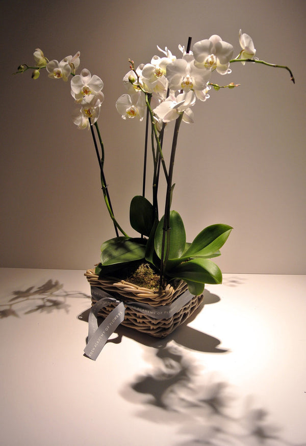 Planted White Phalaenopsis Orchid