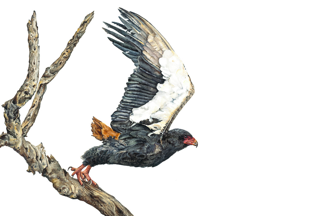 Launch: A Battle with a Bateleur