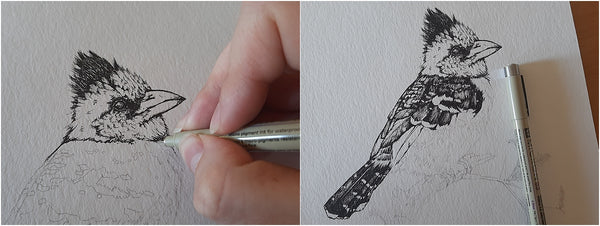 work in progress of pen illustration of crested barbet